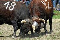 Traditional contest of the Herens fighting cows, Combat of queens, Valais, Switzerland