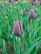 close_up of violet tulip on field