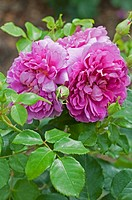ROSA ´PRINCESS ANNE´
