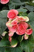 BEGONIA NETJA DARK