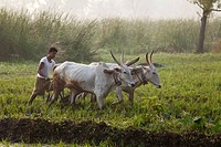 Oxen plow in a rice field, Pandavapura, Karnataka, South India, India, South Asia, Asia