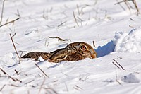 European hare, Brown hare (Lepus europaeus) in winter in snow