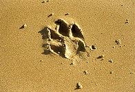 close up of a single paw print in the sand at the beach