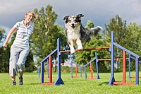 Agility : Australian Shepherd dog jumping over hurdles