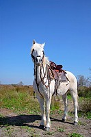 Camargue horse with saddle, stallion, Camargue, southern France, France, Europe