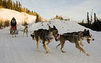 Running sled dogs, dog team, Alaskan Huskies, musher, dog sled race near Whitehorse, Yukon Territory, Canada