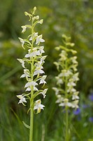 Lesser Butterfly-orchid (Platanthera bifolia), Pyrenees mountains, Spain, Europe