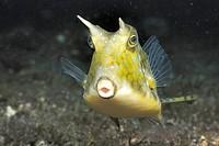 Longhorn cowfish Lactoria cornuta  Lembeh Strait, Celebes Sea, North Sulawesi, Indonesia