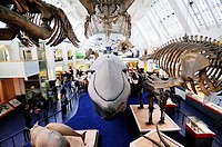 The Blue Whale Model and other mammal exhibits at the Natural History Museum, Kensington, London, England, UK
