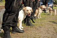 Police labrador sniffer dog trained for drug searching