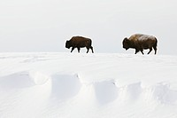 American bisons Bison bison in winter