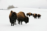 American bisons (Bison bison) in winter