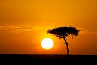 Silhouette of tree on plain, Masai Mara National Reserve, Kenya