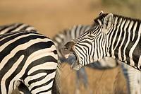 Zebra herd, Imire Safari Ranch, Harare Province, Zimbabwe