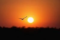 African Skimmer Rynchops flavirostris silhouetted against sun over Okavango River, Botswana