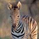 Plains zebra Equus quagga foal, Mkhuze Game Reserve, KwaZulu Natal Province, South Africa
