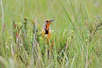 Cape Longclaw Macronyx capensis hiding in grass, Mkambathi Game Reserve, Transkei Coast, Eastern Cape Province, South Africa