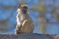 Young baboon perching on branch, Okavango Delta, Botswana