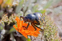 Beetle feeding on sour fig flower, Hondeklip Bay, Northern Cape Province, South Africa