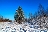 small pine on winter field