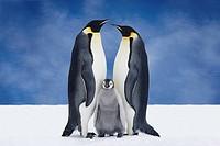 Portrait of Emperor Penguin Parents & Chick, Atka Bay, Antarctica, COMPOSITE