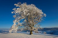 Snow covered tree on Schauinsland, Germany
