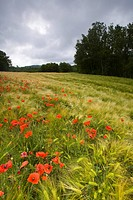 Poppies in a field, Lincel, France