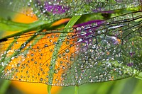 Morning dew on a dragonfly wing (thumbnail)
