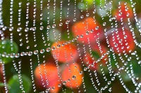 Dew on a spiderweb (thumbnail)