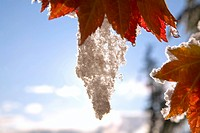 Snow on vine maple leaves (thumbnail)