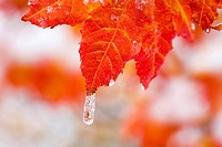 Snow and ice on an autumn vine maple