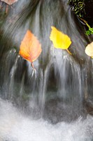 Autumn leaves in a creek (thumbnail)