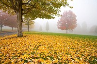 Misty autumn trees