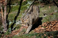 European Wildcat (Felis silvestris) wandering through its territory