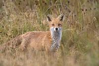 Red Fox (Vulpes vulpes), Midtjylland, Denmark
