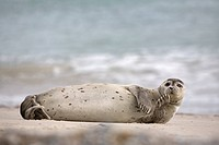 Harbor Seal (Phoca vitulina), Schleswig-Holsteinisches Wattenmeer National Park, North Sea, Schleswig-Holstein, Germany, Europe