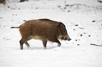 Wild Boar Sus scrofa in winter, Vulkan Eifel, Rhineland_Palatinate, Germany, Europe