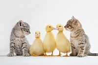 Two kittens and three ducklings, studio shot