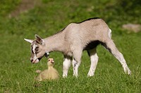 Goat kid and gosling