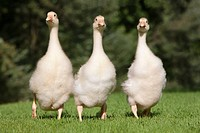 Three goslings walking on grass