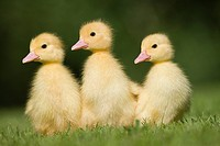 Three ducklings on grass