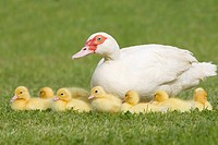 Family of ducklings with mother duck on grass