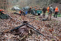 Driven hunt and battue for wild boars in the Odenwald, Heidelberg, Baden_Wuerttemberg, Germany, Europe