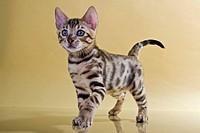 Bengal kitten standing