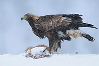 Golden Eagle (Aquila chrysaetos), subadult bird on dead fox, Norway, February 2010