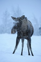 Moose (Alces alces), female, Norway, February 2010