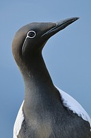Guillemot/Common Murre (Uria aalge), Norway, April 2010