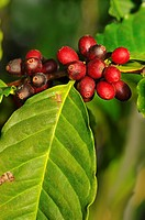 Branch of coffee plant with ripe fruits, Coffea arabica