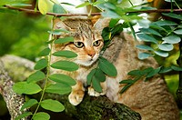 AFRICAN WILDCAT felis silvestris lybica, ADULT STANDING ON BRANCH