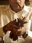 Cuban cigar roller bundling tobacco leaves for the manufacture of cigars